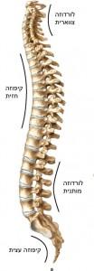 עמוד השדרה במבט צידי